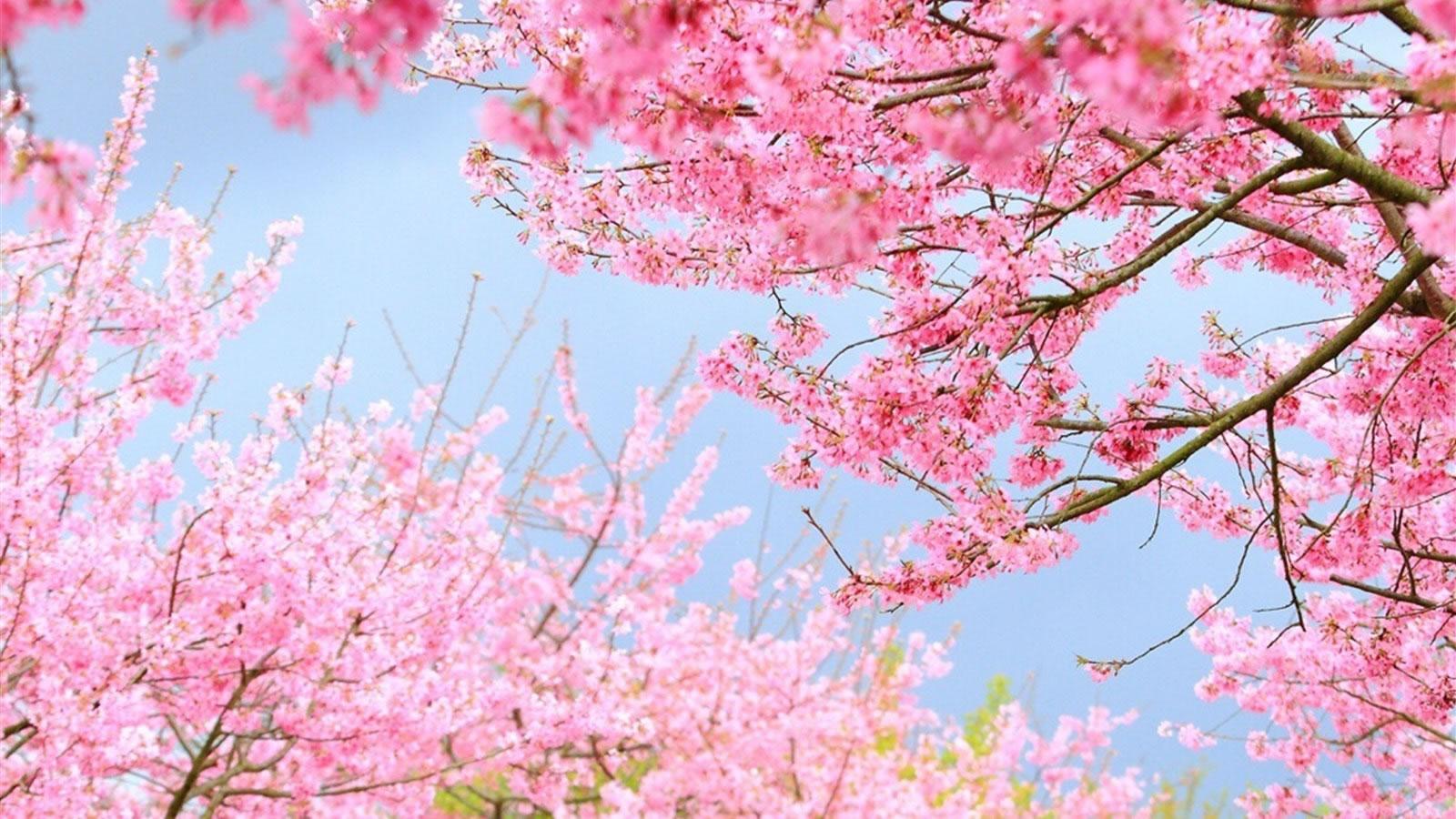 樱花季 | 2017美国最强赏花攻略