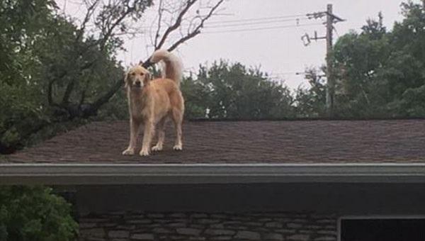 萌!美金毛犬爱跳上屋顶向路人打招呼