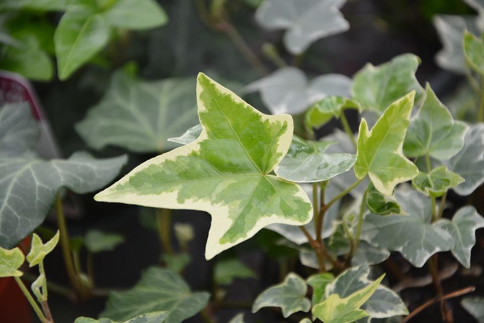 ivy-leaf-3244801_960_720.jpg